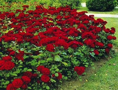 Sauvez les rosiers gel s - Comment tailler un rosier buisson ...